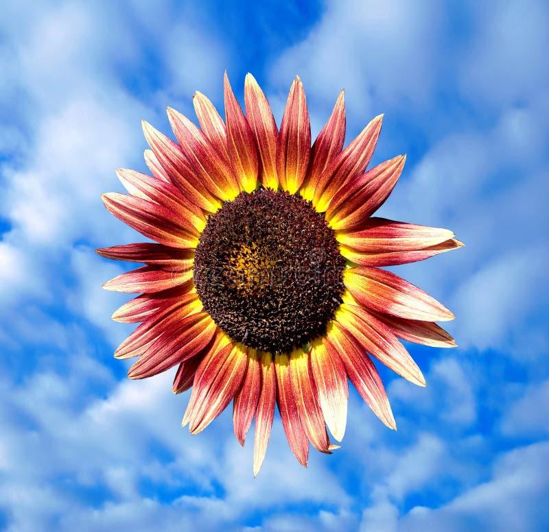 天空向日葵 免版税库存图片