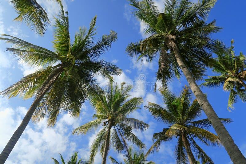 天空蔚蓝背景的棕榈树森林底视图  图库摄影