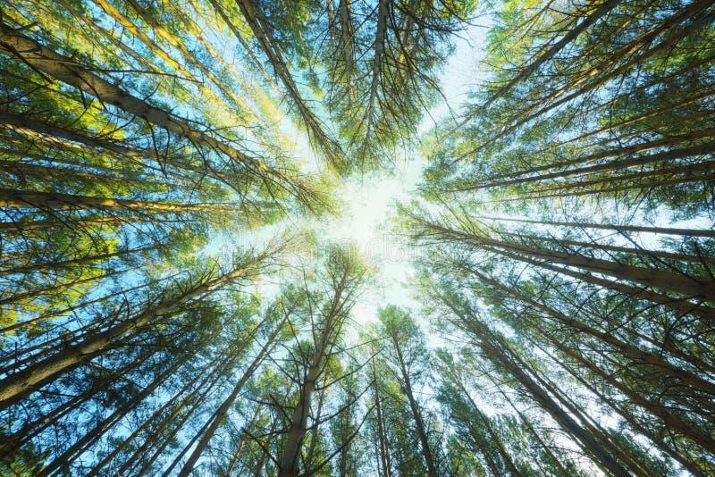 Download 天空通过杉木 库存照片. 图片 包括有 风景, 梦想, 夏天, 室外, 叶子, 晴朗, 公园, 晒裂, 季节 - 30330160