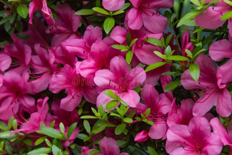 天竺葵大竺葵小组明亮的樱桃色 库存照片