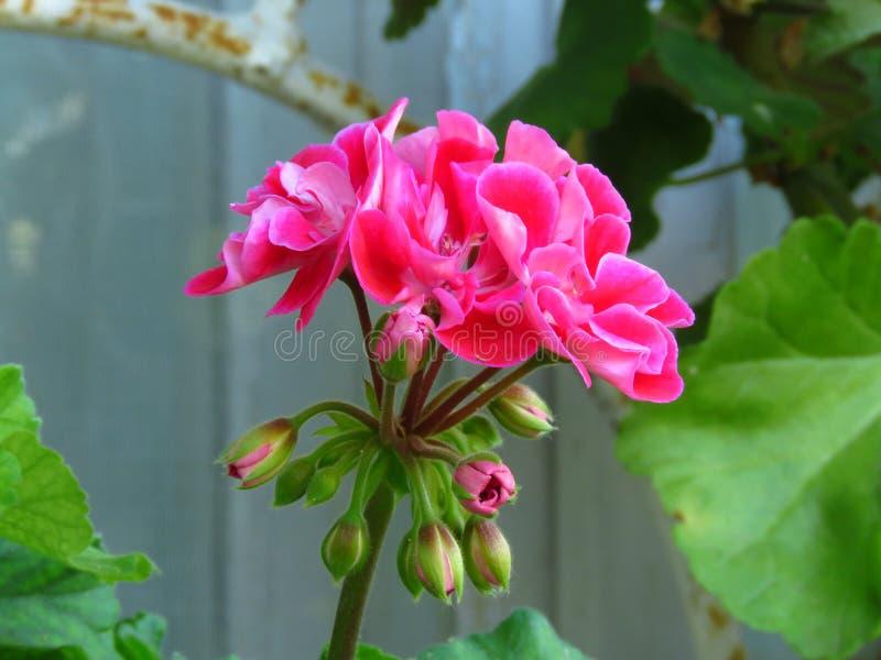 天竺葵peltatum常春藤大竺葵 与桃红色绽放和充满活力的绿色叶子的室外庭院夏天花 库存照片