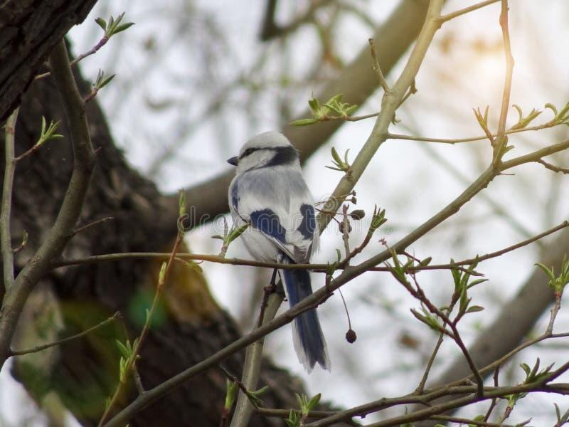 天蓝色的山雀Cyanistes cyanus在早期的春天坐一个分支在森林里 库存照片