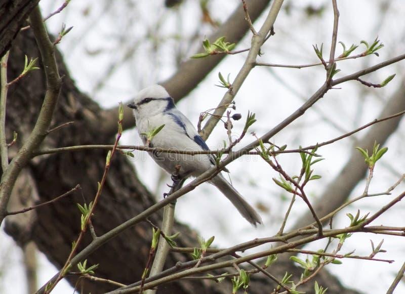 天蓝色的山雀Cyanistes cyanus在早期的春天坐一个分支在森林里 库存图片