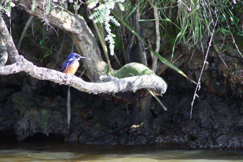 天蓝色的翠鸟 免版税库存图片