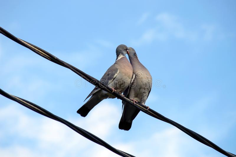 天鸽座Palumbus共同的斑尾林鸽给一个亲吻到另一个 免版税图库摄影