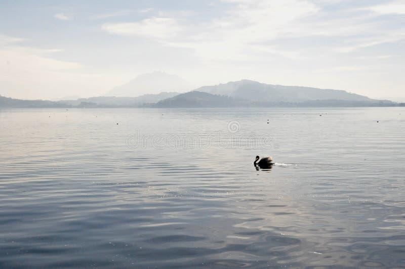 天鹅剪影在清早湖的 库存照片