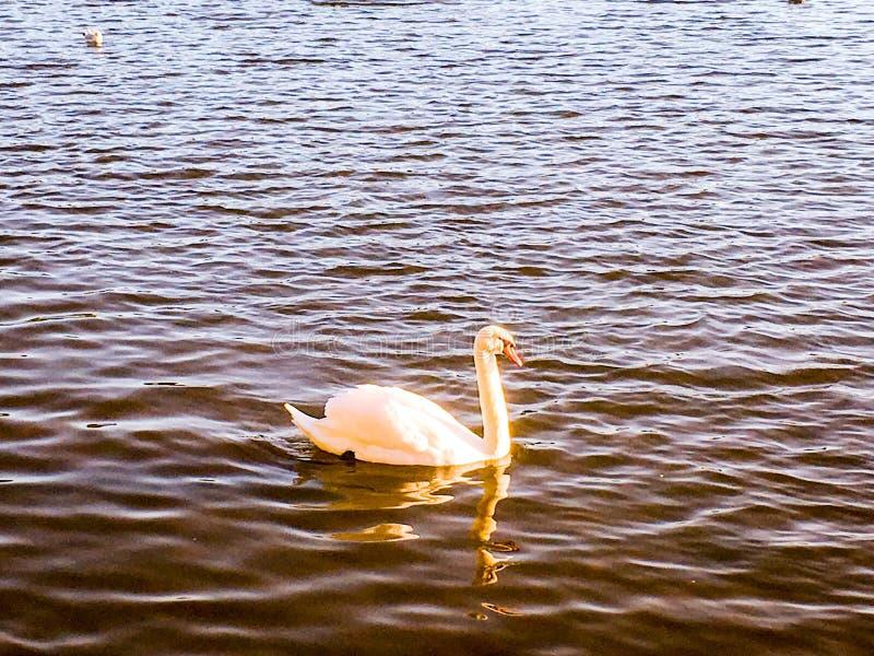 天鹅和反射在湖 库存照片