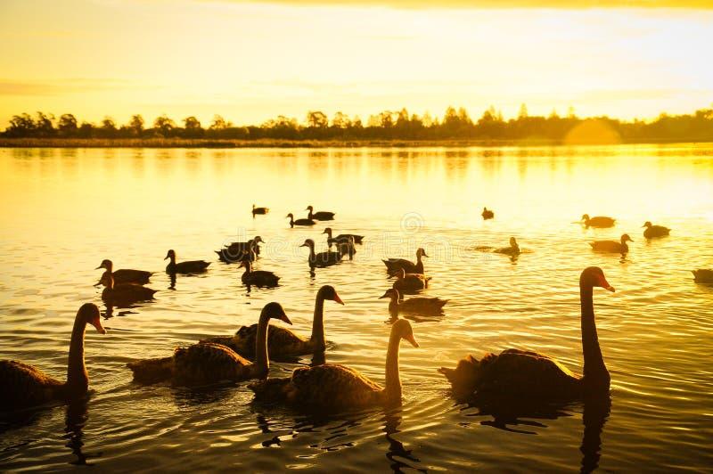 天鹅和日落在湖 库存照片