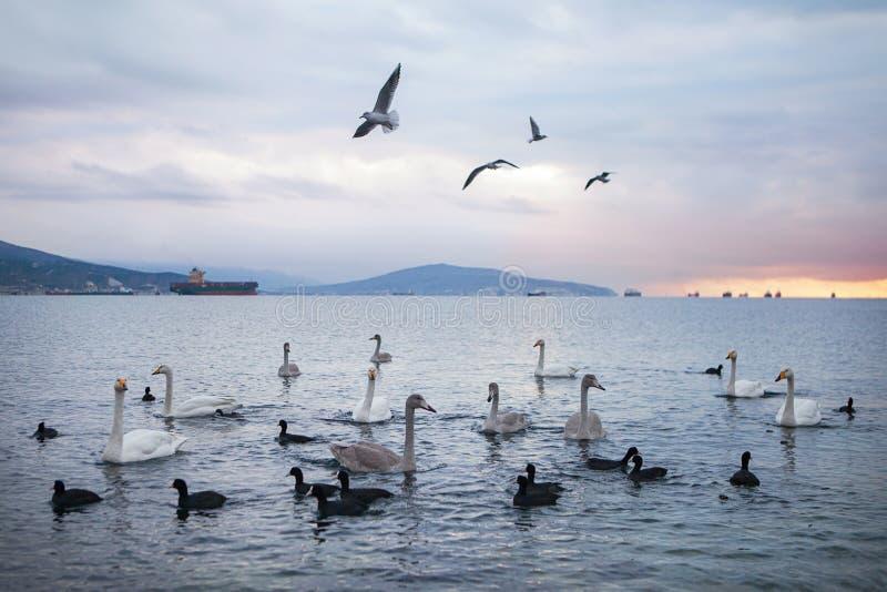 天鹅和海鸥群在日出金黄黎明 库存图片