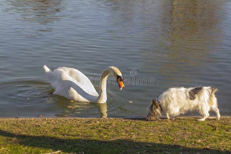 天鹅和狗 在岸的天鹅在池塘和狗 得到的天鹅和的狗习惯 库存照片