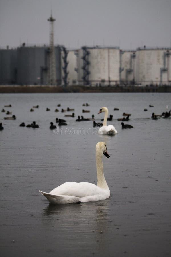 天鹅和鸭子在水反对一些工厂厂房在Chornomorsk附近运送,乌克兰 免版税库存照片
