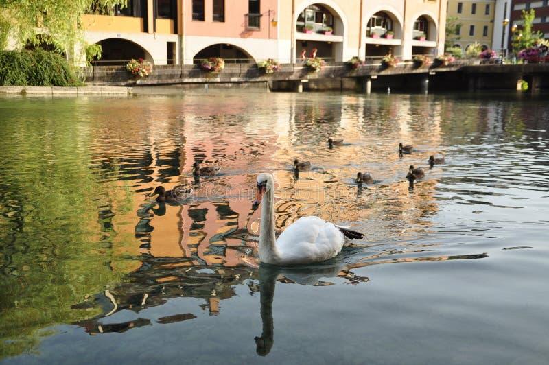 天鹅和鸭子在河 库存照片
