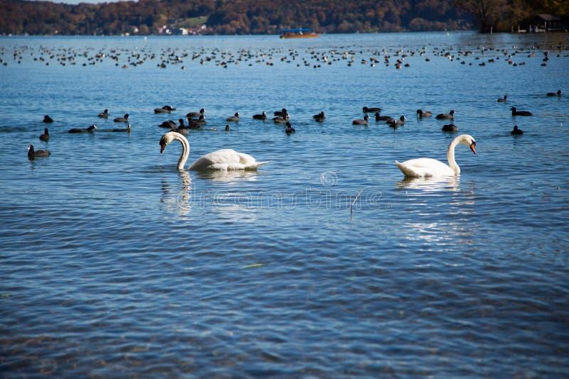天鹅和鸭子在湖Starnberger看见 库存图片