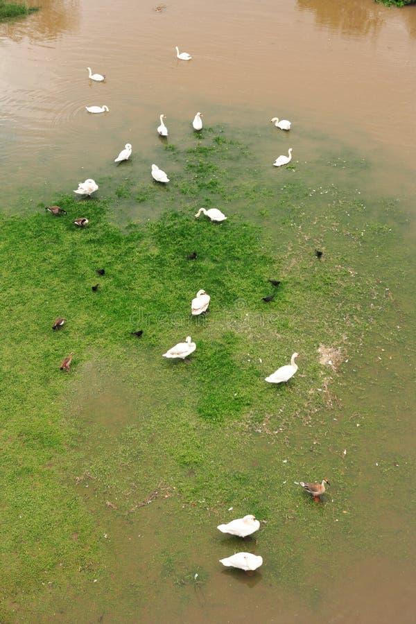 天鹅和鸭子在被淹没的草甸 免版税库存照片
