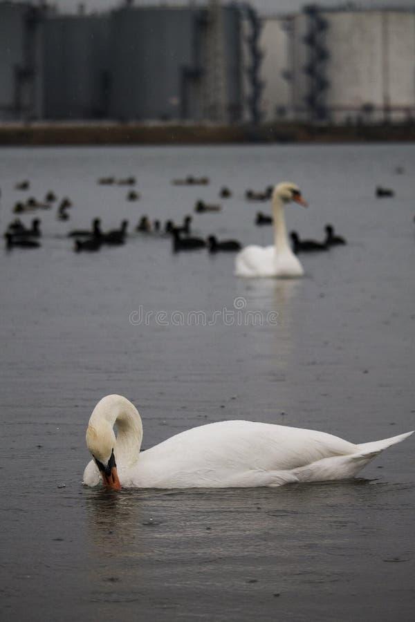 天鹅和鸭子在雨中反对一些工厂厂房在Chornomorsk附近运送,乌克兰 免版税库存照片