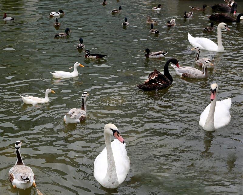 天鹅和鸭子 免版税库存图片