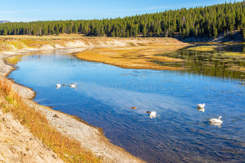 天鹅和黄石河 免版税库存照片