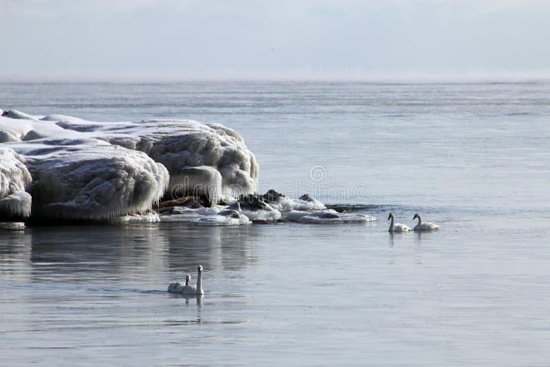 天鹅在冬天 免版税库存图片