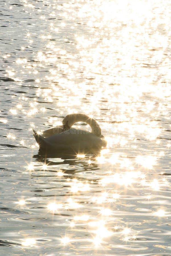 天鹅在多瑙河早晨 免版税库存照片
