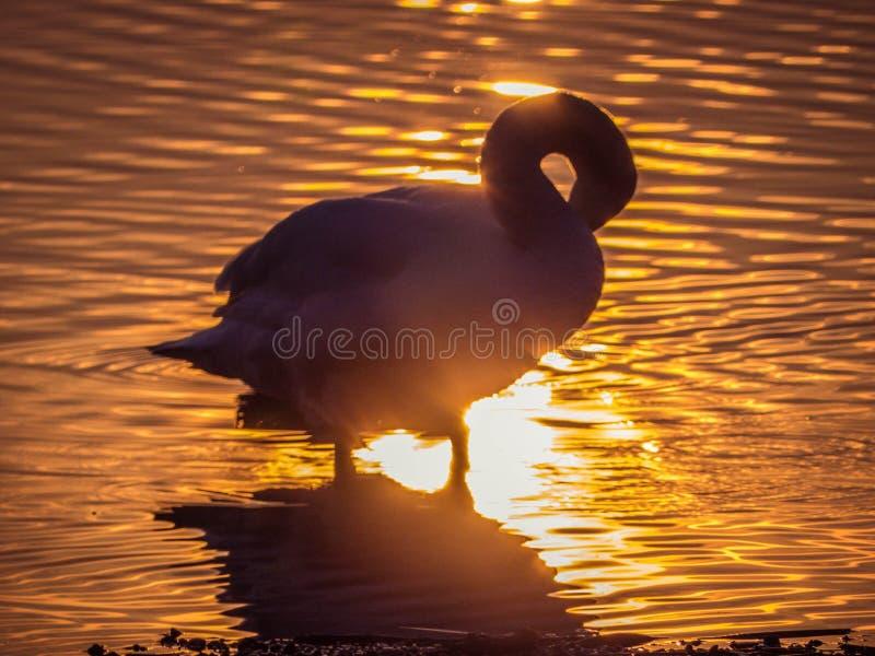 天鹅在日落的湖 免版税库存照片