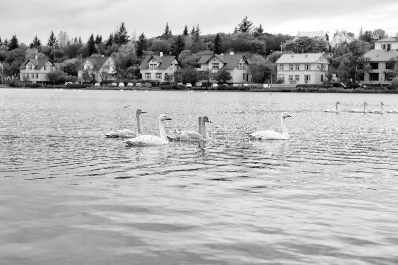天鹅在池塘在雷克雅未克,冰岛 与白色全身羽毛的天鹅水表面上 水鸟鸟群在郊区的 免版税库存图片