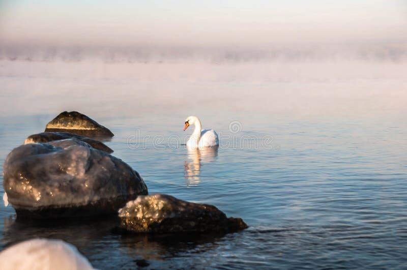 天鹅在海运 免版税库存图片