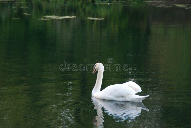 天鹅在湖 库存照片