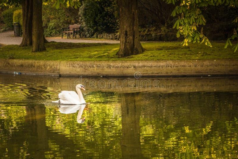 天鹅在赫伯特公园都伯林爱尔兰 免版税库存图片