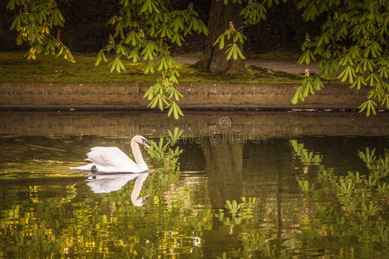 天鹅在赫伯特公园都伯林1 免版税库存图片