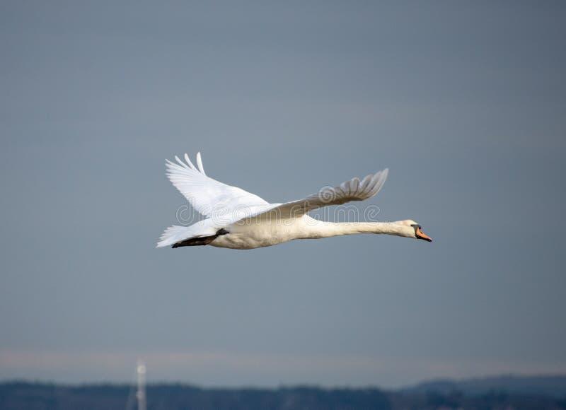 天鹅在飞行中在赫斯托唾液,汉普郡,英国 免版税库存照片