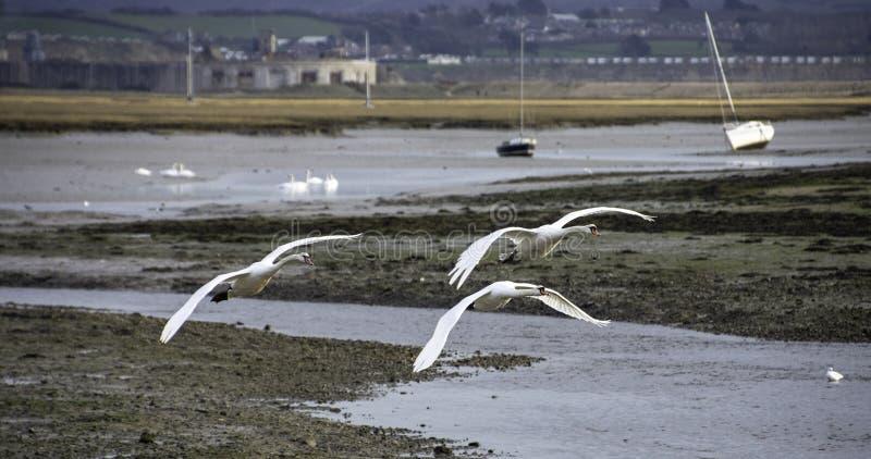天鹅在飞行中在赫斯托唾液,汉普郡,英国 图库摄影