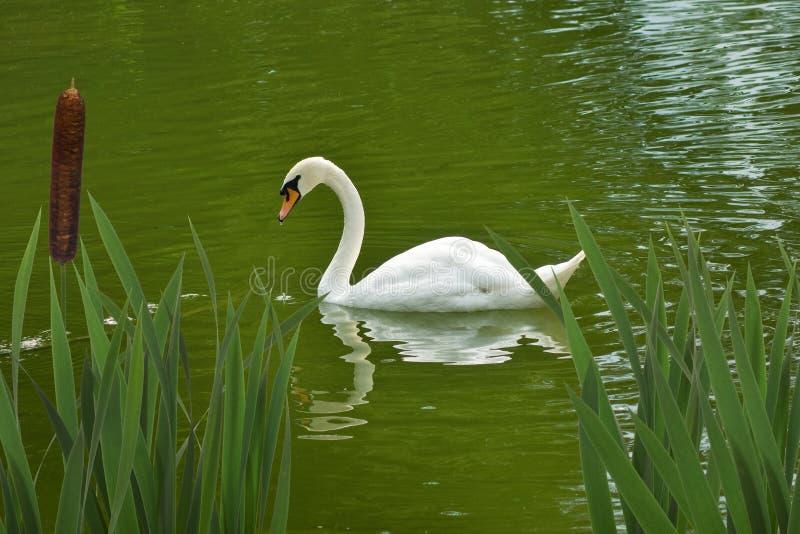 天鹅在水中 免版税库存照片