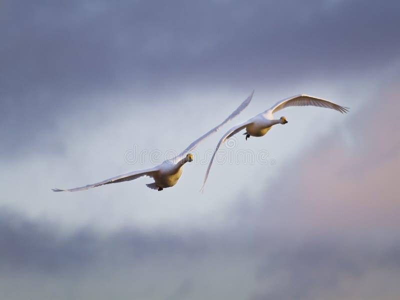 天鹅夫妇鸟 库存图片