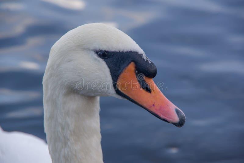 天鹅头接近的侧视图  湖水在背景中 免版税图库摄影