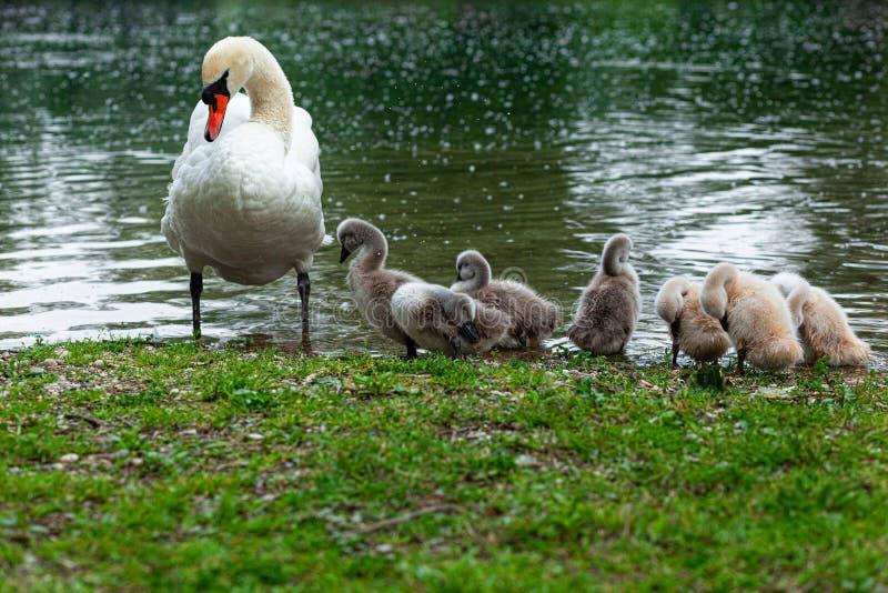 天鹅家庭、母亲和六只小天鹅在绿草 免版税库存图片