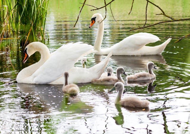 天鹅家庭在湖游泳 图库摄影