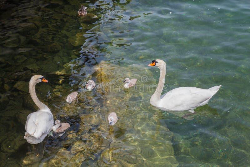 天鹅家庭在湖 免版税库存照片