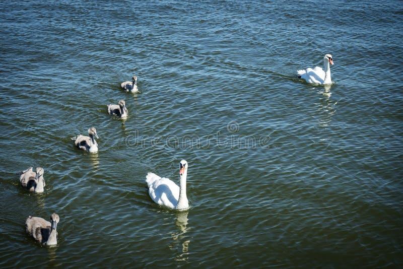天鹅家庭 照顾天鹅和婴孩小鸡儿童孩子天鹅 漂浮在水的鸟 在水下的天鹅水槽 库存图片