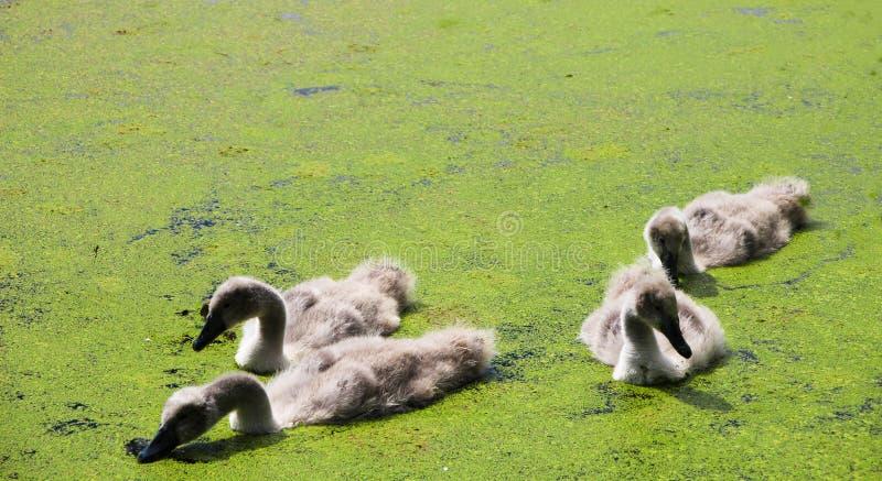 天鹅小鸡在湖 免版税库存图片