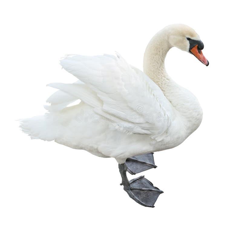 天鹅座哑olor天鹅白色 免版税库存照片