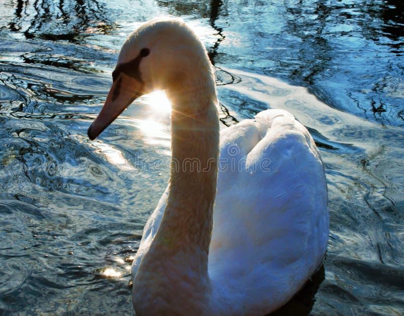 天鹅座是鸭科家庭最大的水鸟辨认的分类学类,thes 库存图片
