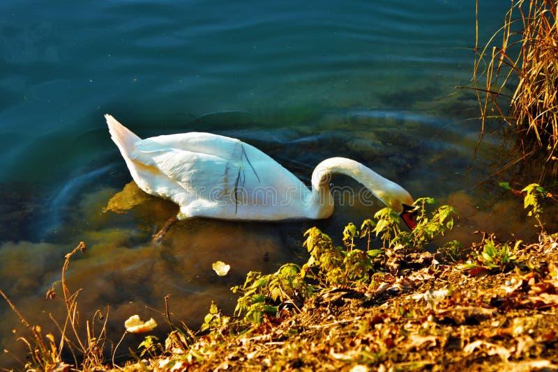 天鹅座是鸭科家庭最大的水鸟辨认的分类学类,thes 库存照片