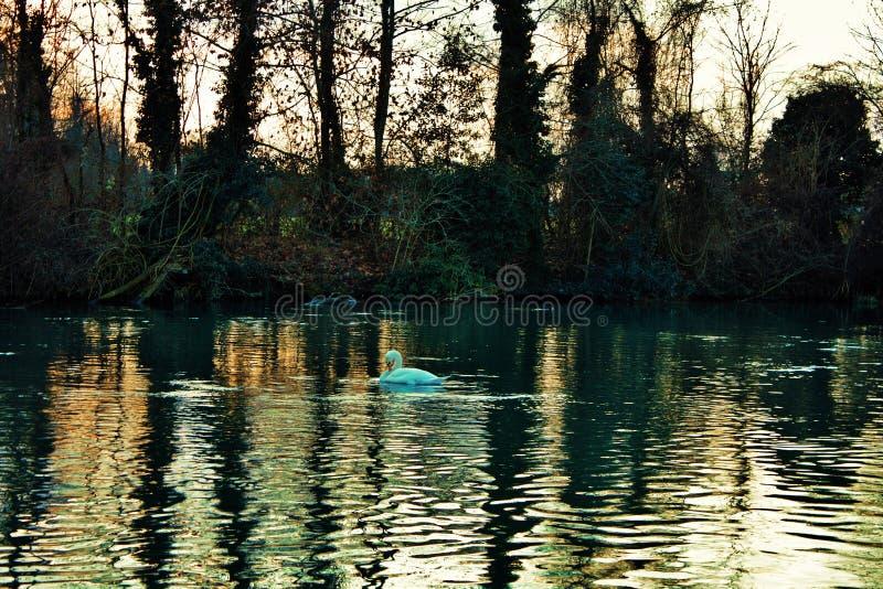 天鹅座是鸭科家庭最大的水鸟辨认的分类学类,thes 免版税图库摄影