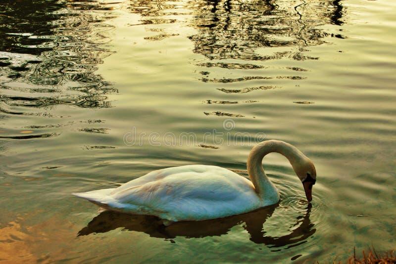 天鹅座是鸭科家庭最大的水鸟辨认的分类学类,thes 免版税库存图片