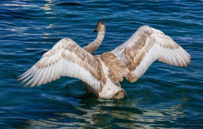 年轻天鹅拍动翼 库存图片
