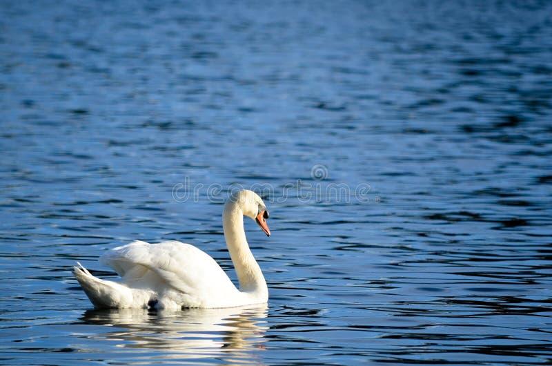 天鹅游泳在湖 图库摄影