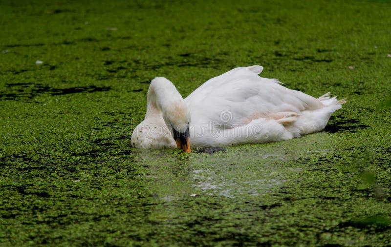 天鹅游泳通过海藻,当吃时 免版税库存图片