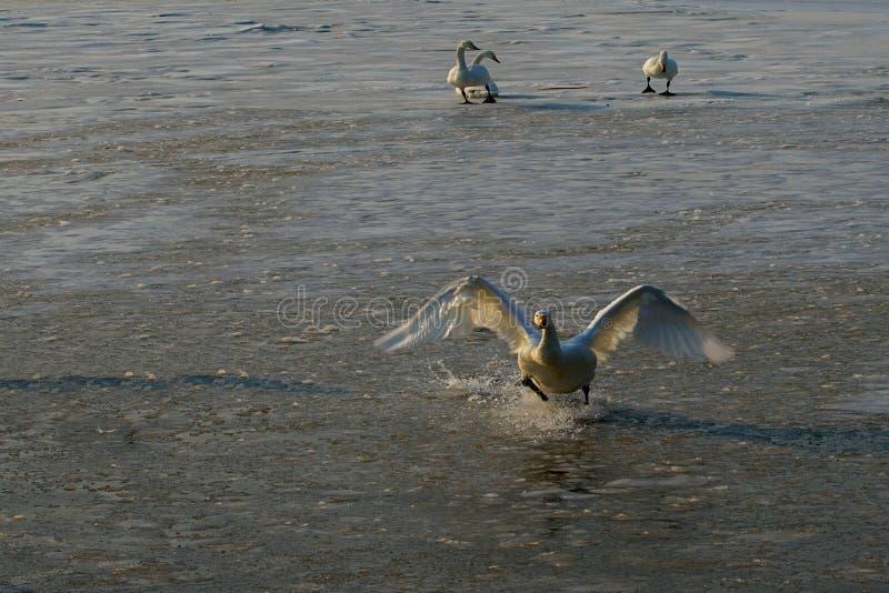 天鹅湖在中国 库存照片