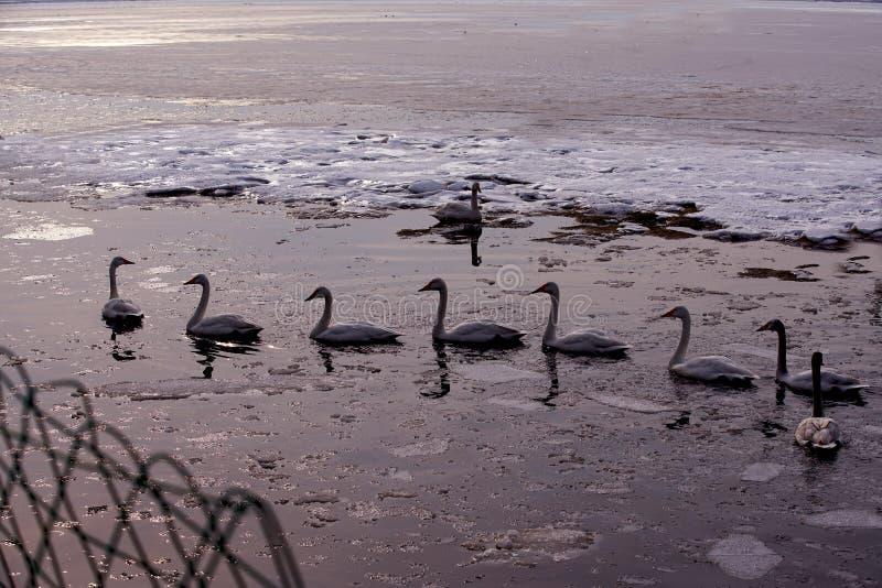 天鹅湖在中国 库存图片