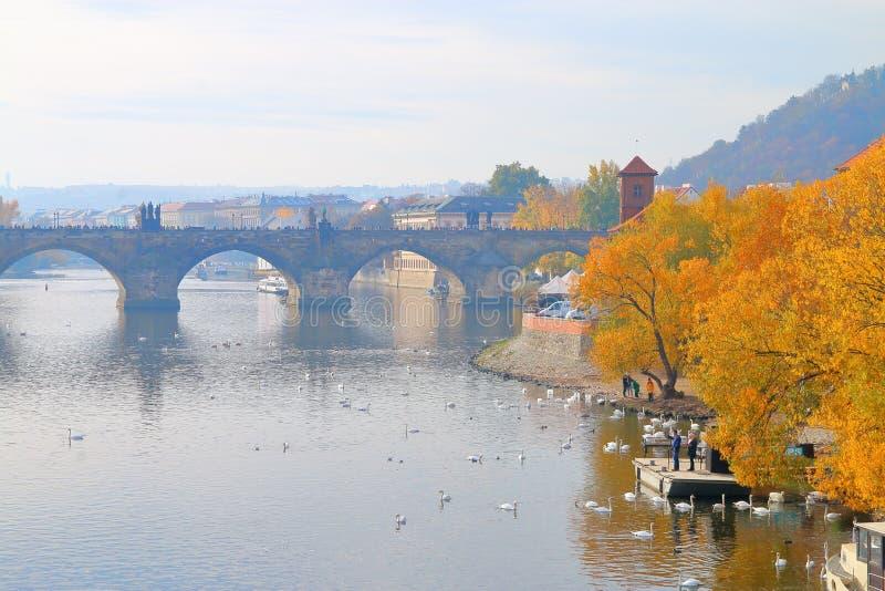 天鹅群在伏尔塔瓦河河的在布拉格游泳在下或 免版税库存照片